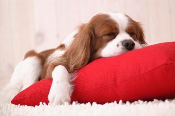 ¡Confirmado! Perros sueñan con sus amos mientras duermen