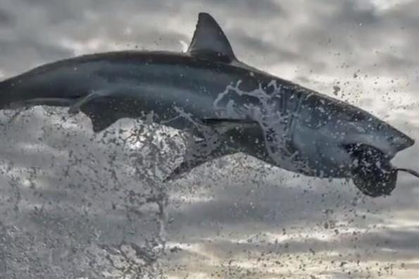 Captan sorprendente salto de un tiburón blanco (+video)