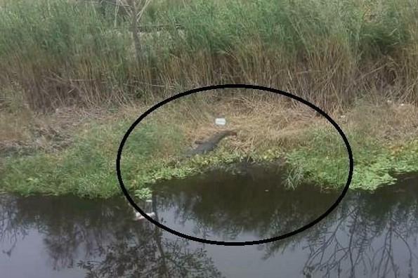 Hallan un lagarto en la entrada Geo Villas del Puerto, en Veracruz