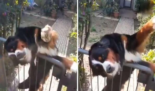 Perrito espera a su vecino para saludarlo antes de que se vaya a trabajar (+video)