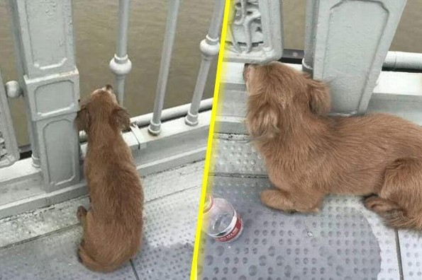Perrito fiel espera a su dueño en el puente donde lo vio saltar (+video)